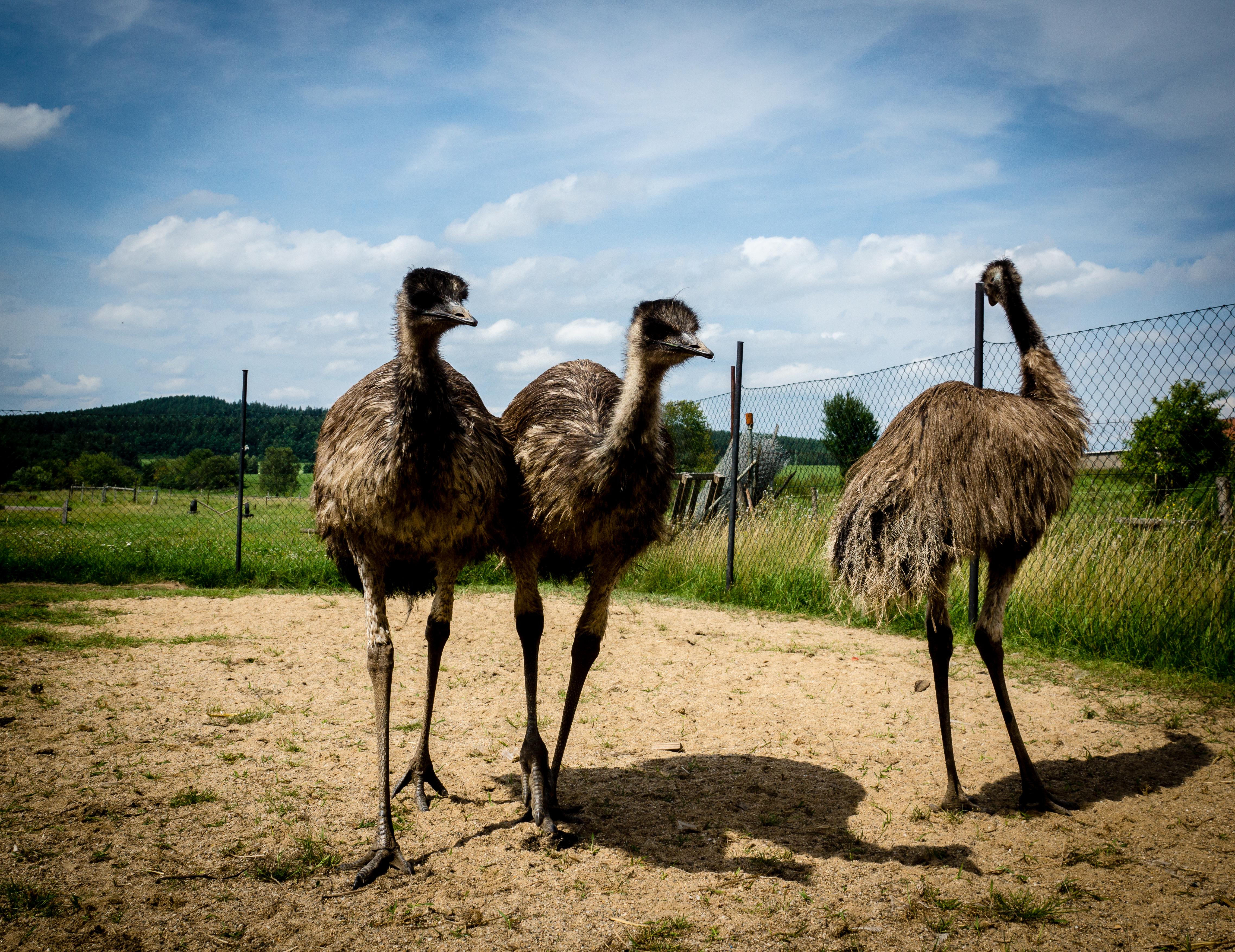 emu hnedy